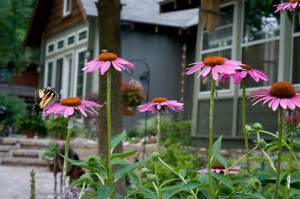 pink daisies with a butterfly