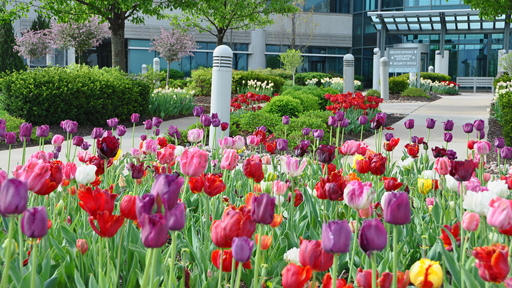 Purple, pink, red, and yellow seasonal tulips for spring.