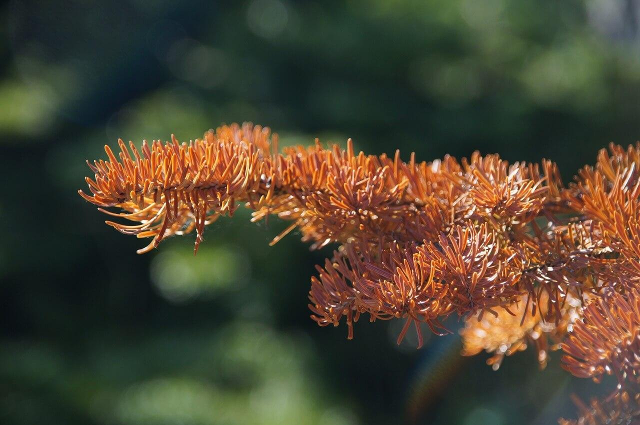 dead fir branch