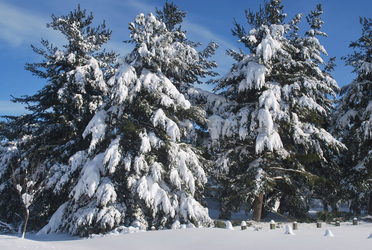 evergreens with heavy snow