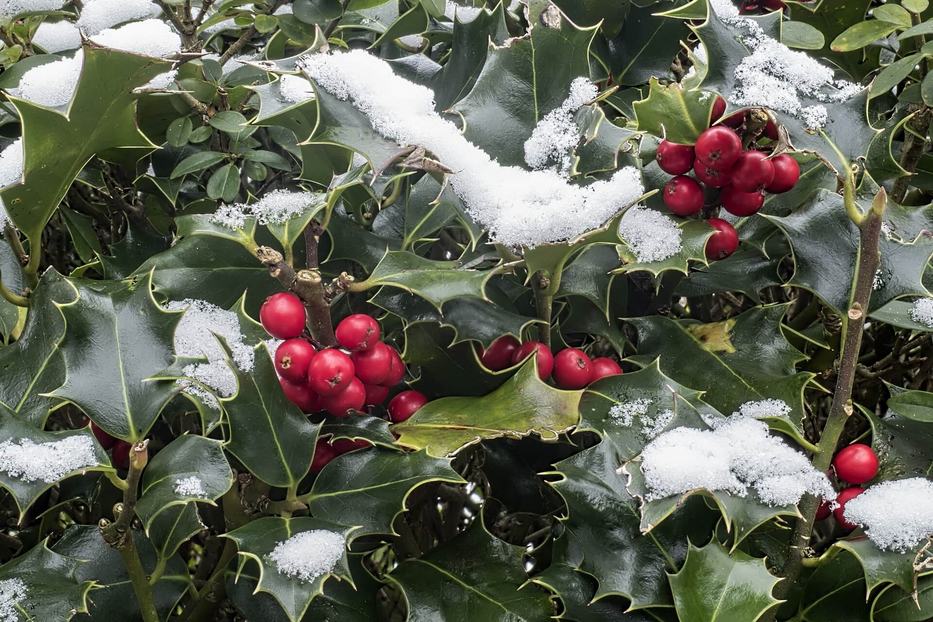 American holly with snow